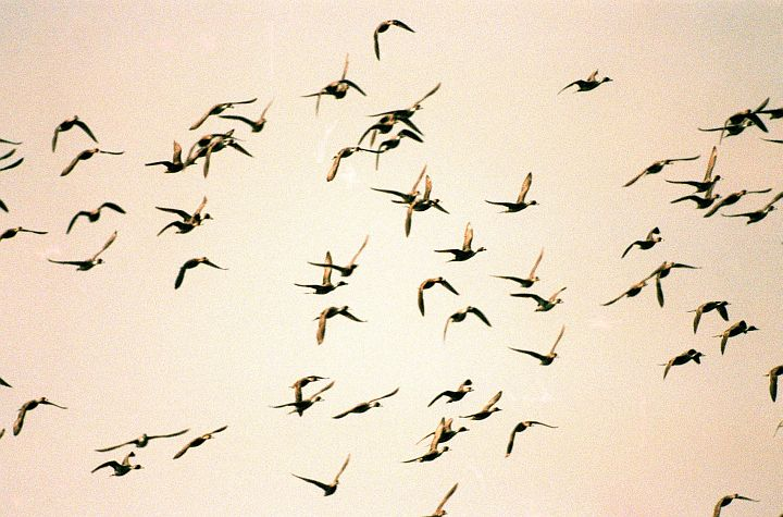 The Flock of Ducks Take Flight Into The Morning Sky, Merritt Island National Wildlife Refuge, Kennedy Space Center, State of Florida, USA. Photo Credit: Kennedy Media Gallery - Wildlife (http://mediaarchive.ksc.nasa.gov) Photo Number: KSC-99PC-0106, John F. Kennedy Space Center (KSC, http://www.nasa.gov/centers/kennedy), National Aeronautics and Space Administration (NASA, http://www.nasa.gov), Government of the United States of America.