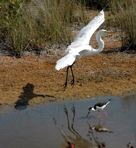 The Black-Necked Stilt, Foraging for Food Below, Isn't Surprised By or Fearful Of the Large, White, and Beautiful Great Egret (above) Preparing to Land in the Marshy Area. Merritt Island National Wildlife Refuge, Kennedy Space Center, State of Florida, USA. Photo Credit: Kennedy Media Gallery - Wildlife (http://mediaarchive.ksc.nasa.gov) Photo Number: KSC-05PD-1019, John F. Kennedy Space Center (KSC, http://www.nasa.gov/centers/kennedy), National Aeronautics and Space Administration (NASA, http://www.nasa.gov), Government of the United States of America.