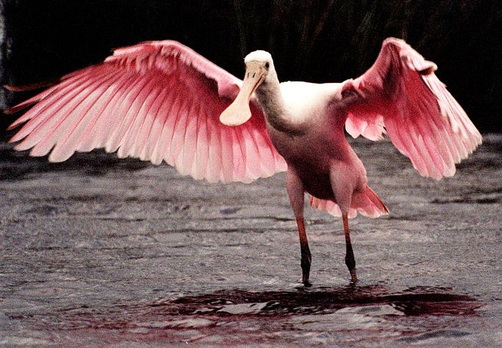The Roseate Spoonbill (Ajaia ajaja), Seen Here Standing on the Ground With Gorgeous, Large, Pink Wings On Full Frontal Display, is One of the Most Beautiful Birds Created by Jesus Christ. Merritt Island National Wildlife Refuge, State of Florida, USA. Merritt Island National Wildlife Refuge, Kennedy Space Center, State of Florida, USA. Photo Credit: Kennedy Media Gallery - Wildlife (http://mediaarchive.ksc.nasa.gov) Photo Number: KSC-00PP-0154, John F. Kennedy Space Center (KSC, http://www.nasa.gov/centers/kennedy), National Aeronautics and Space Administration (NASA, http://www.nasa.gov), Government of the United States of America.