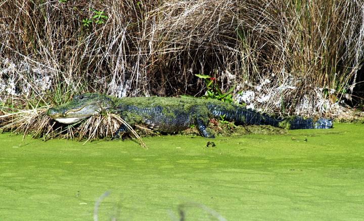 An Alligator, Covered in Green Moss, Rests On the Water's Edge. Kennedy Space Center, Merritt Island National Wildlife Refuge, State of Florida, USA. Merritt Island National Wildlife Refuge, Kennedy Space Center, State of Florida, USA. Photo Credit: Kennedy Media Gallery - Wildlife (http://mediaarchive.ksc.nasa.gov) Photo Number: KSC-04PD-0203, John F. Kennedy Space Center (KSC, http://www.nasa.gov/centers/kennedy), National Aeronautics and Space Administration (NASA, http://www.nasa.gov), Government of the United States of America.