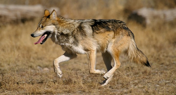 1. Mexican Wolf, Canis lupis baileyi. Photo Credit: Jim Clark, NCTC Image Library, United States Fish and Wildlife Service Digital Library System (http://images.fws.gov, WV11562-General6), United States Fish and Wildlife Service (FWS, http://www.fws.gov), United States Department of the Interior (http://www.doi.gov), Government of the United States of America (USA).