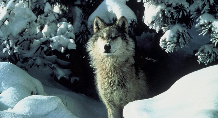 2. Gray Wolf. Photo Credit: Tracy Brooks - Mission Wolf/USFWS, Washington DC Library, United States Fish and Wildlife Service Digital Library System (http://images.fws.gov, WO5232), United States Fish and Wildlife Service (FWS, http://www.fws.gov), United States Department of the Interior (http://www.doi.gov), Government of the United States of America (USA).