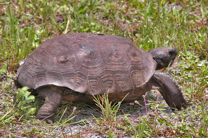 The Gopher Tortoise (Gopherus polyphemus) Eats His or Her Way Through the Grass alongside Kennedy Parkway at NASA Kennedy Space Center. Merritt Island National Wildlife Refuge, Kennedy Space Center, State of Florida, USA. Photo Credit: Kennedy Media Gallery - Wildlife (http://mediaarchive.ksc.nasa.gov) Photo Number: Kennedy Media Gallery - Wildlife (http://mediaarchive.ksc.nasa.gov) Photo Number: KSC-05PD-1595, John F. Kennedy Space Center (KSC, http://www.nasa.gov/centers/kennedy), National Aeronautics and Space Administration (NASA, http://www.nasa.gov), Government of the United States of America.