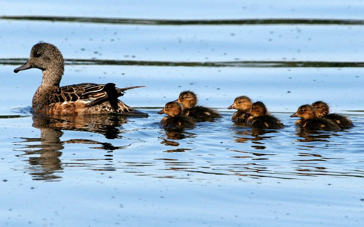 American Wigeon Brood (Anas americana) -- An Adult Leading With Six Baby Ducks Following Behind -- in Lake Hood. Anchorage, State of Alaska, USA. Photo Credit: Donna Dewhurst, Alaska Image Library, United States Fish and Wildlife Service Digital Library System (http://images.fws.gov, DI-Dewhurst,D-AMWigeonBrood2), United States Fish and Wildlife Service (FWS, http://www.fws.gov), United States Department of the Interior (http://www.doi.gov), Government of the United States of America (USA).