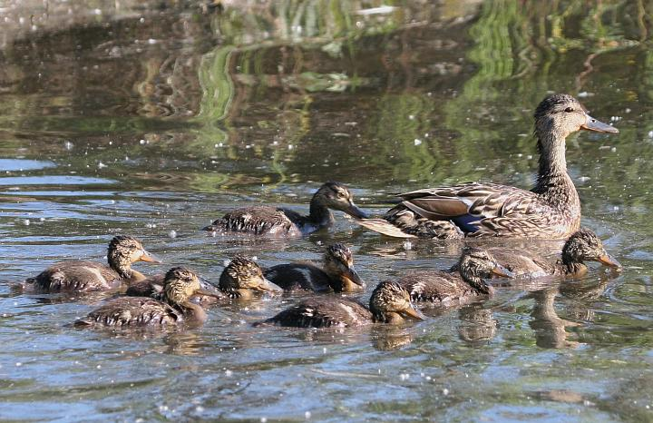 Anas platyrhynchos, Mallard Brood at Cheney Lake in Anchorage, State of Alaska, USA. Photo Credit: Donna Dewhurst, Alaska Image Library, United States Fish and Wildlife Service Digital Library System (http://images.fws.gov, DI-Dewhurst,D-MallardBrood), United States Fish and Wildlife Service (FWS, http://www.fws.gov), United States Department of the Interior (http://www.doi.gov), Government of the United States of America (USA).