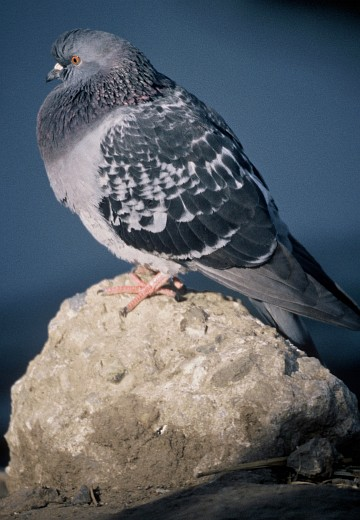 2. Rock Dove (Pigeon), Columba livia. Photo Credit: Lee Karney, Washington DC Library, United States Fish and Wildlife Service Digital Library System (http://images.fws.gov, WO-Lee Karney-6191), United States Fish and Wildlife Service (FWS, http://www.fws.gov), United States Department of the Interior (http://www.doi.gov), Government of the United States of America (USA).