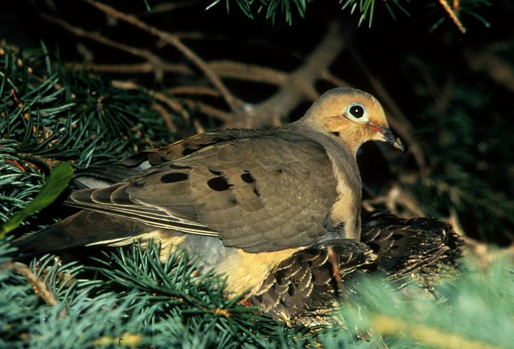 Nesting Mourning Dove and Baby Doves. Photo Credit: James C. Leupold, Washington DC Library, United States Fish and Wildlife Service Digital Library System (http://images.fws.gov, WO3313-009), United States Fish and Wildlife Service (FWS, http://www.fws.gov), United States Department of the Interior (http://www.doi.gov), Government of the United States of America (USA).
