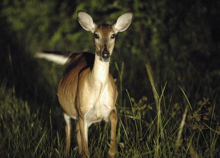 An Alert, Pregnant White-tailed Deer on the West End of NASA Kennedy Space Center's Shuttle Landing Facility, Kennedy Space Center, State of Florida, USA. Photo Credit: Kennedy Media Gallery - Wildlife (http://mediaarchive.ksc.nasa.gov) Photo Number: KSC-05PD-1818, John F. Kennedy Space Center (KSC, http://www.nasa.gov/centers/kennedy), National Aeronautics and Space Administration (NASA, http://www.nasa.gov), Government of the United States of America.