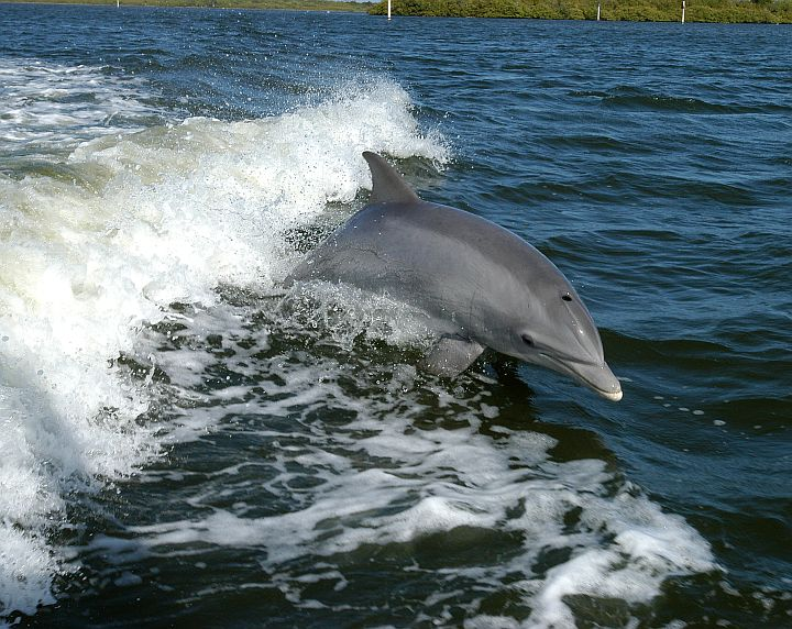 This Dolphin Enjoys Surfing the Wake of a Research Boat on the Banana River. Kennedy Space Center, State of Florida, USA. Photo Credit: Kennedy Media Gallery - Wildlife (http://mediaarchive.ksc.nasa.gov) Photo Number: KSC-04PD-0178, John F. Kennedy Space Center (KSC, http://www.nasa.gov/centers/kennedy), National Aeronautics and Space Administration (NASA, http://www.nasa.gov), Government of the United States of America.