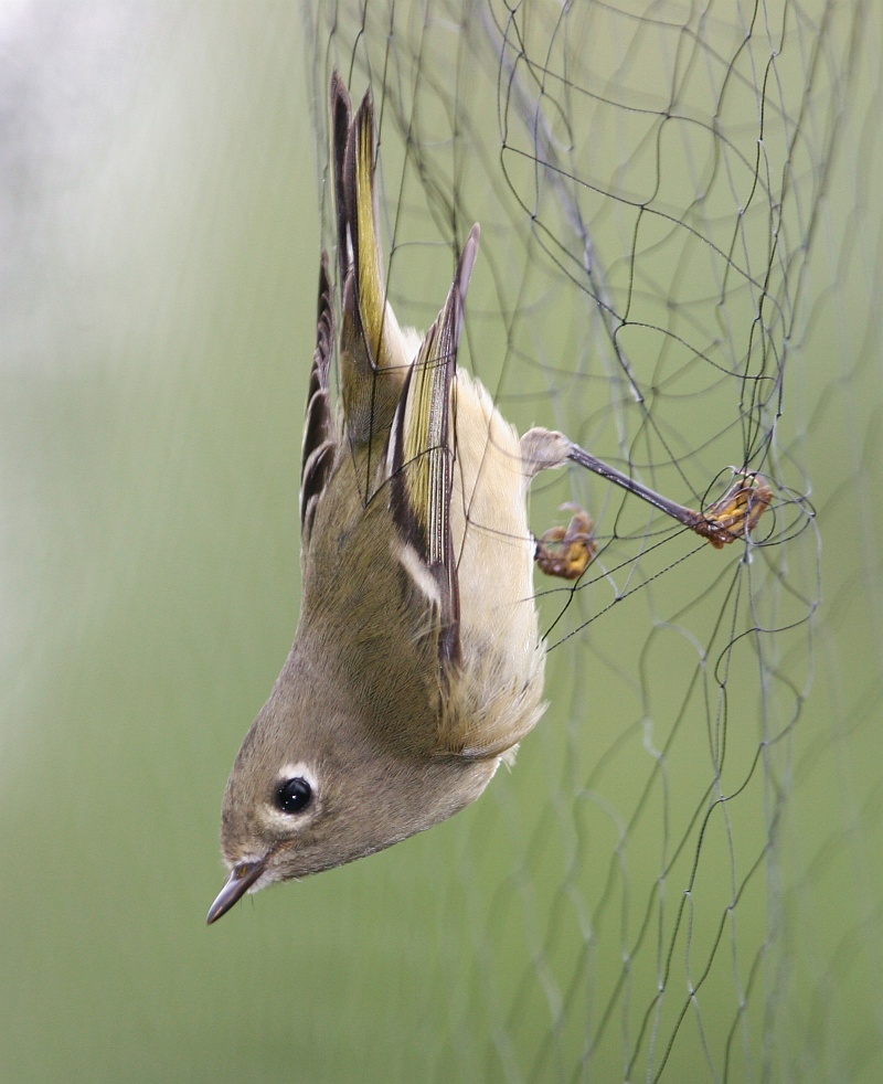 1. Trapped for Banding: Ruby-crowned Kinglet (Regulus calendula) in a Mist Net on the United States Bureau of Land Management (BLM) Campbell Tract in Anchorage, State of Alaska, USA. Photo Credit (Full size): Donna Dewhurst, Washington DC Library, United States Fish and Wildlife Service Digital Library System (http://images.fws.gov, Donna Dewhurst Collection), United States Fish and Wildlife Service (FWS, http://www.fws.gov), United States Department of the Interior (http://www.doi.gov), Government of the United States of America (USA).