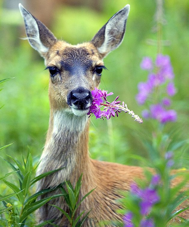 Sitka Black-tailed Deer (Odocoileus hemionus sitkensis) With Fireweed in Its Mouth, July 2005. Kodiak National Wildlife Refuge Anchorage, State of Alaska, USA. Photo Credit (Full size): Steve Hillebrand, Alaska Image Library, United States Fish and Wildlife Service Digital Library System (http://images.fws.gov, DI-W5B0129), United States Fish and Wildlife Service (FWS, http://www.fws.gov), United States Department of the Interior (http://www.doi.gov), Government of the United States of America (USA).
