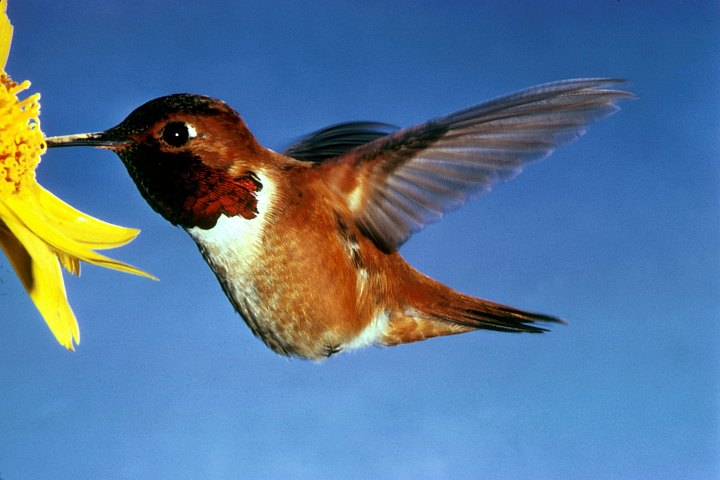 Rufous Hummingbird (Selasphorus rufus). Photo Credit: Dean E. Biggins, Washington DC Library, United States Fish and Wildlife Service Digital Library System (http://images.fws.gov, WO-1374-009), United States Fish and Wildlife Service (FWS, http://www.fws.gov), United States Department of the Interior (http://www.doi.gov), Government of the United States of America (USA).