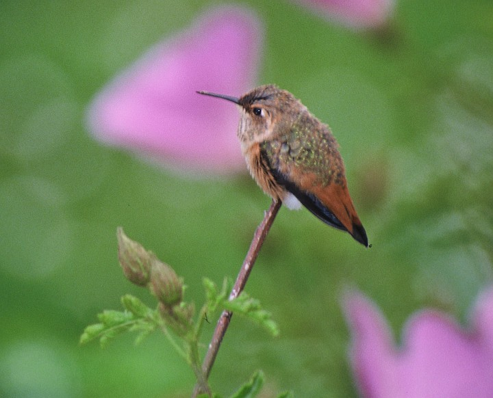 This Small Bird Perched on the Plant -- an Allen's Hummingbird (Selasphorus sasin) -- Takes a Break From Feeding and Flying. Photo Credit: Lee Karney, Washington DC Library, United States Fish and Wildlife Service Digital Library System (http://images.fws.gov, WO-Lee Karney-3892), United States Fish and Wildlife Service (FWS, http://www.fws.gov), United States Department of the Interior (http://www.doi.gov), Government of the United States of America (USA).