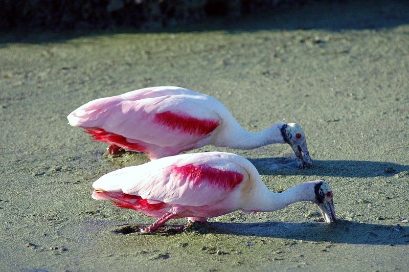 A Pair of Beautiful Roseate Spoonbills (Ajaia ajaja) Are Searching For Food In the Canal's Very Murky Water, NASA Kennedy Space Center, State of Florida, USA. Photo Credit: Jim Grossmann, Kennedy Media Gallery - Wildlife (http://mediaarchive.ksc.nasa.gov) Photo Number: KSC-06PD-0231, John F. Kennedy Space Center (KSC, http://www.nasa.gov/centers/kennedy), National Aeronautics and Space Administration (NASA, http://www.nasa.gov), Government of the United States of America.