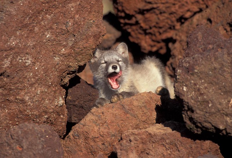 Arctic Fox, Alaska Maritime National Wildlife Refuge (AMNWR), Saint George (St. George) Island, Pribilof Islands, State of Alaska, USA. Photo Credit: Art Sowls, Alaska Image Library, United States Fish and Wildlife Service Digital Library System (http://images.fws.gov, slide 0003500), United States Fish and Wildlife Service (FWS, http://www.fws.gov), United States Department of the Interior (http://www.doi.gov), Government of the United States of America (USA).