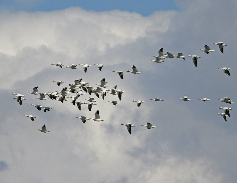 Billowy and Large Clouds, Blue Sky, and Snow Geese (Chen caerulescens) in Flight at Palmer Hay Flats, Palmer, State of Alaska, USA. Photo Credit: Donna Dewhurst, Alaska Image Library, United States Fish and Wildlife Service Digital Library System (http://images.fws.gov, Donna Dewhurst Collection, Digital), United States Fish and Wildlife Service (FWS, http://www.fws.gov), United States Department of the Interior (http://www.doi.gov), Government of the United States of America (USA).