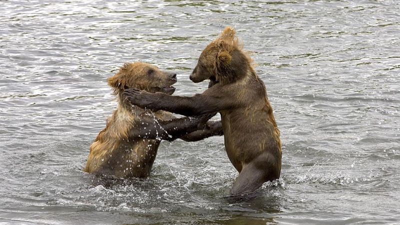 These Two Brown Bear, Ursus arctos, Cubs Are Having Fun Playing With Each Other in the Water, Kodiak National Wildlife Refuge, State of Alaska, USA. Photo Credit: Steve Hillebrand, Alaska Image Library, United States Fish and Wildlife Service Digital Library System (http://images.fws.gov, DI-W5B0340), United States Fish and Wildlife Service (FWS, http://www.fws.gov), United States Department of the Interior (http://www.doi.gov), Government of the United States of America (USA).
