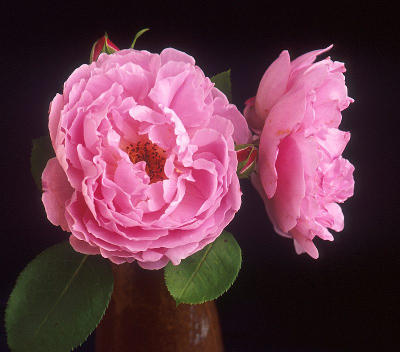 This Lovely, Very Beautiful, Pink Flower is a Sarah van Fleet Rose. Photo Credit: Peggy Greb (http://www.ars.usda.gov/is/graphics/photos, K9634-1), Agricultural Research Service (ARS, http://www.ars.usda.gov), United States Department of Agriculture (USDA, http://www.usda.gov), Government of the United States of America (USA).