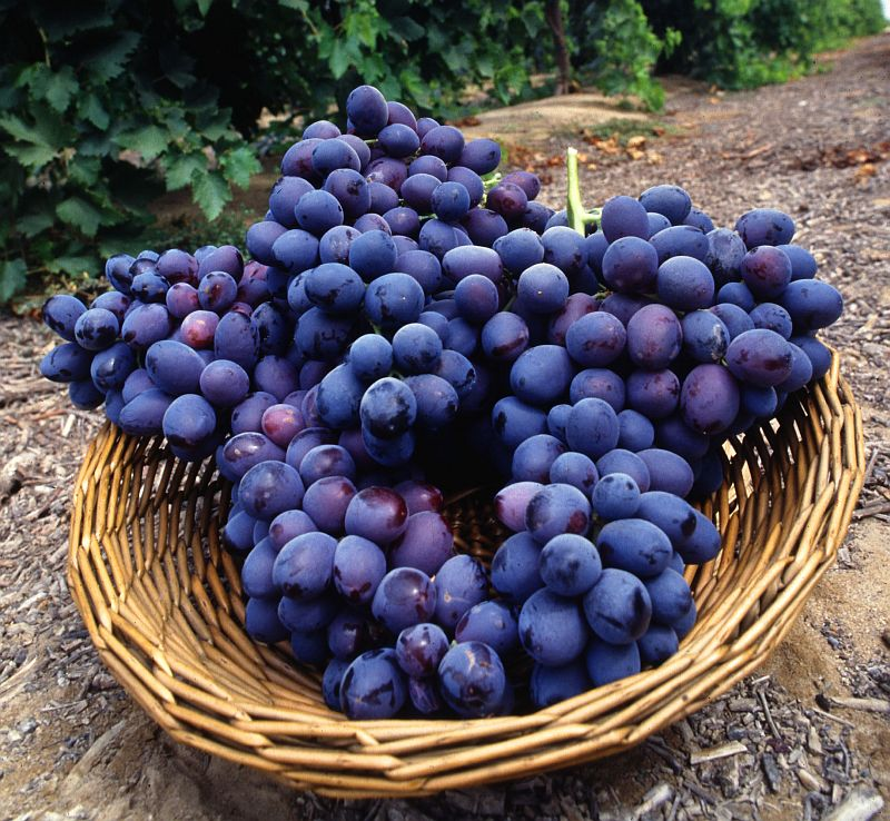 Wicker Basket Full Luscious Fruit -- Seedless Autumn Royal Grape Clusters. Photo Credit: Bob Nichols (http://www.ars.usda.gov/is/graphics/photos, K7721-7), Agricultural Research Service (ARS, http://www.ars.usda.gov), United States Department of Agriculture (USDA, http://www.usda.gov), Government of the United States of America (USA).