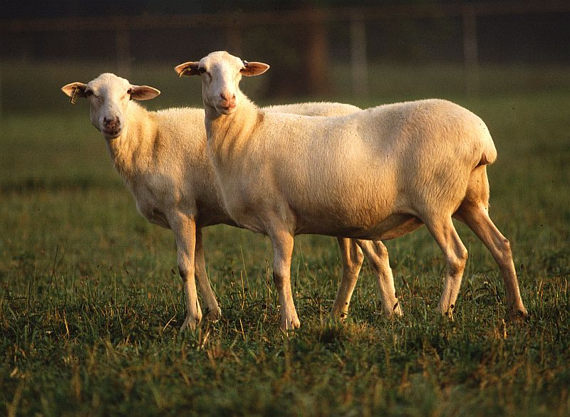A Pair of St. Croix Hair Sheep. Photo Credit: Perry Rech (http://www.ars.usda.gov/is/graphics/photos, K3720-8), Agricultural Research Service (ARS, http://www.ars.usda.gov), United States Department of Agriculture (USDA, http://www.usda.gov), Government of the United States of America (USA).