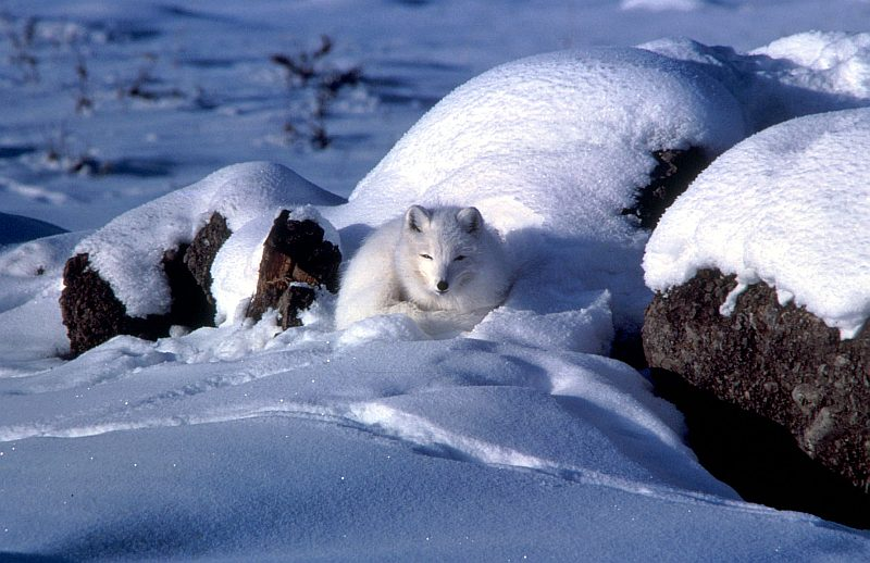 Covered With a Warm, White Winter Coat of Fur, This Arctic Fox is Comfortable Resting In the Snow. State of Alaska, USA. Photo Credit: Keith Morehouse, Washington DC Library, United States Fish and Wildlife Service Digital Library System (http://images.fws.gov, WO3019-25), United States Fish and Wildlife Service (FWS, http://www.fws.gov), United States Department of the Interior (http://www.doi.gov), Government of the United States of America (USA).
