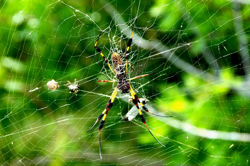 A Large Golden Silk Spider (Nephila clavipes) Web Supports the Large Female and Smaller Male Spiders (Nephila clavipes), NASA Kennedy Space Center, State of Florida, USA. Photo Credit: Ken Thornsley, Kennedy Media Gallery - Wildlife (http://mediaarchive.ksc.nasa.gov) Photo Number: KSC-06PD-2059, John F. Kennedy Space Center (KSC, http://www.nasa.gov/centers/kennedy), National Aeronautics and Space Administration (NASA, http://www.nasa.gov), Government of the United States of America.
