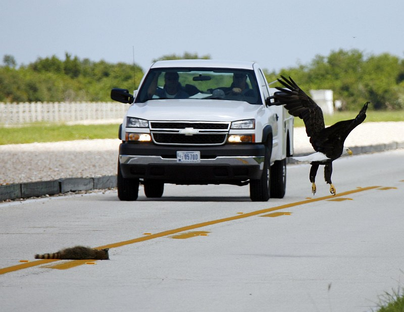 Photo 2. Hasty Flight by the Bald Eagle (Haliaeetus leucocephalus), Due to the Oncoming Vehicle, Leaving Behind On the Road the Mid-day Meal -- the Carcass of a Small Animal. NASA Kennedy Space Center, State of Florida, USA. Photo Credit: Gary Rothstein, Kennedy Media Gallery - Wildlife (http://mediaarchive.ksc.nasa.gov) Photo Number: KSC-06PD-2061, John F. Kennedy Space Center (KSC, http://www.nasa.gov/centers/kennedy), National Aeronautics and Space Administration (NASA, http://www.nasa.gov), Government of the United States of America.