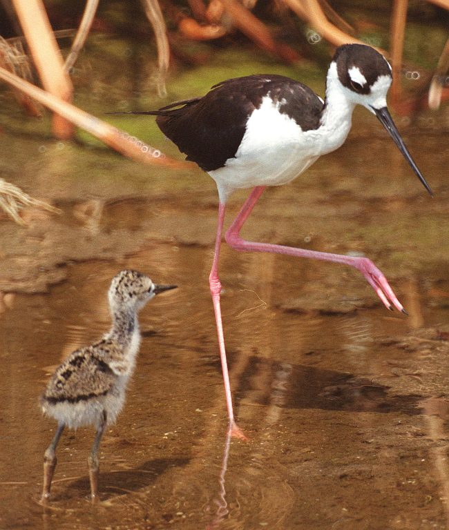 Long-Legged, Adult Black-necked Stilt (Himantopus mexicanus) and Its Chick, NASA Kennedy Space Center, State of Florida, USA. Photo Credit: Kennedy Media Gallery - Wildlife (http://mediaarchive.ksc.nasa.gov) Photo Number: KSC-01PP-1016, John F. Kennedy Space Center (KSC, http://www.nasa.gov/centers/kennedy), National Aeronautics and Space Administration (NASA, http://www.nasa.gov), Government of the United States of America.