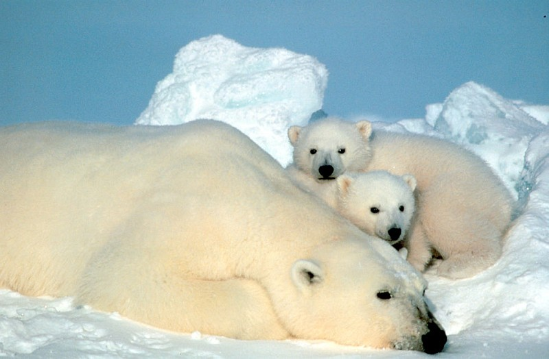 Beautiful and Cute View of an Adult Polar Bear (Ursus maritimus) and Her Two Baby Cubs Resting on the Ice Pack In the Beaufort Sea, Arctic Ocean. Photo Credit: Steve Amstrup, Alaska Image Library, United States Fish and Wildlife Service Digital Library System (http://images.fws.gov, SL-03407), United States Fish and Wildlife Service (FWS, http://www.fws.gov), United States Department of the Interior (http://www.doi.gov), Government of the United States of America (USA).