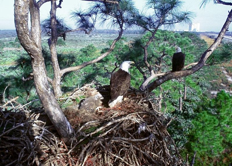 These Two Bald Eagle (Haliaeetus leucocephalus) Chicks, In Their Large Nest High Up In the Tree, Are Totally Dependent On the Two Adult Bald Eagles For Food and Defense. NASA Kennedy Space Center, State of Florida, USA. Photo Credit: Kennedy Media Gallery - Wildlife (http://mediaarchive.ksc.nasa.gov) Photo Number: KSC-92PC-1152, John F. Kennedy Space Center (KSC, http://www.nasa.gov/centers/kennedy), National Aeronautics and Space Administration (NASA, http://www.nasa.gov), Government of the United States of America.