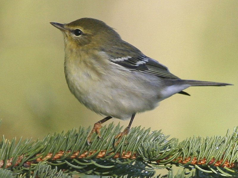 This Small Songbird, a Blackpoll Warbler (Dendroica striata), Is Dressed In  Autumn (Fall) Season Plumage. Bureau of Land Management (BLM) Campbell Tract, Anchorage, State of Alaska, USA. Photo Credit: Donna Dewhurst, Alaska Image Library, United States Fish and Wildlife Service Digital Library System (http://images.fws.gov, Blackpoll R8984), United States Fish and Wildlife Service (FWS, http://www.fws.gov), United States Department of the Interior (http://www.doi.gov), Government of the United States of America (USA).