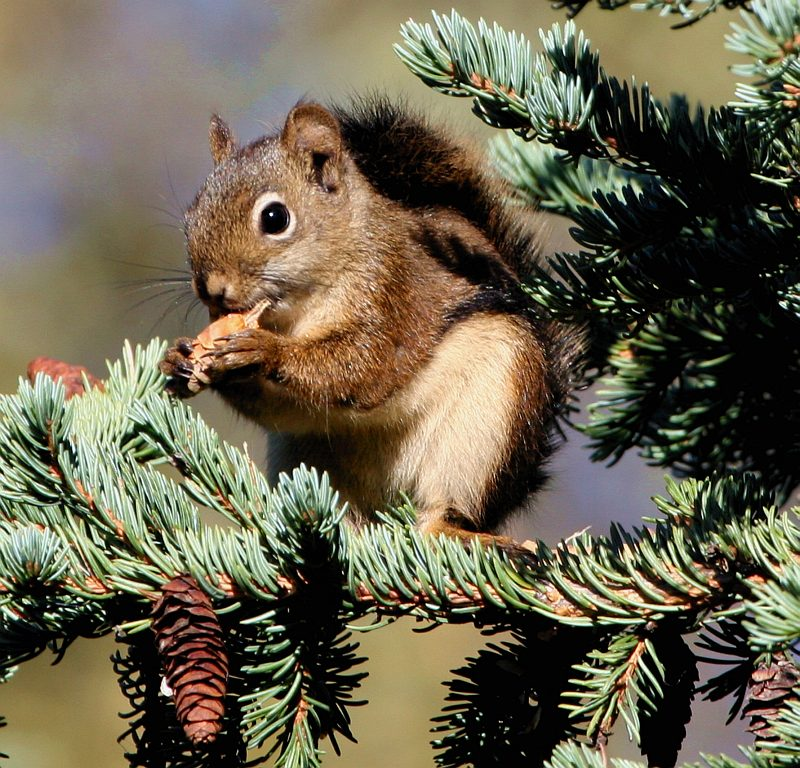 Adorable View of a Cute Red Squirrel (Tamiasciurus hudsonicus) Sitting In Pine (or Evergreen) Tree Having a Meal, Bureau of Land Management Campbell Tract, Anchorage, State of Alaska, USA. Photo Credit: Donna Dewhurst, Alaska Image Library, United States Fish and Wildlife Service Digital Library System (http://images.fws.gov), United States Fish and Wildlife Service (FWS, http://www.fws.gov), United States Department of the Interior (http://www.doi.gov), Government of the United States of America (USA).