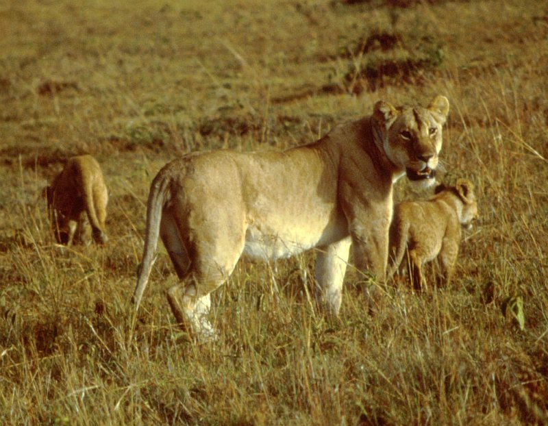 One Adult, Female African Lion and Her Two(2) Cubs. Photo Credit: Ken Stansell, Washington DC Library, United States Fish and Wildlife Service Digital Library System (http://images.fws.gov, WO5108-25), United States Fish and Wildlife Service (FWS, http://www.fws.gov), United States Department of the Interior (http://www.doi.gov), Government of the United States of America (USA).
