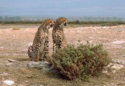 3. Two Cheetahs Sitting Together Side By Side, Republic of Kenya. Photo Credit: Gary M. Stolz, Washington DC Library, United States Fish and Wildlife Service Digital Library System (http://images.fws.gov, WO5671-007), United States Fish and Wildlife Service (FWS, http://www.fws.gov), United States Department of the Interior (http://www.doi.gov), Government of the United States of America (USA).