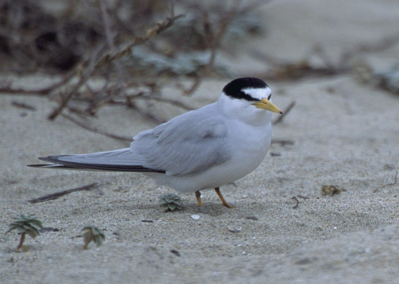 This Cute Member of the Least Term (Sterna antillarum) Bird Family Is a California Least Tern, Sterna antillarum browni. Photo Credit: Ryan Hagerty, NCTC Image Library, United States Fish and Wildlife Service Digital Library System (http://images.fws.gov, WV-General 9 -343), United States Fish and Wildlife Service (FWS, http://www.fws.gov), United States Department of the Interior (http://www.doi.gov), Government of the United States of America (USA).