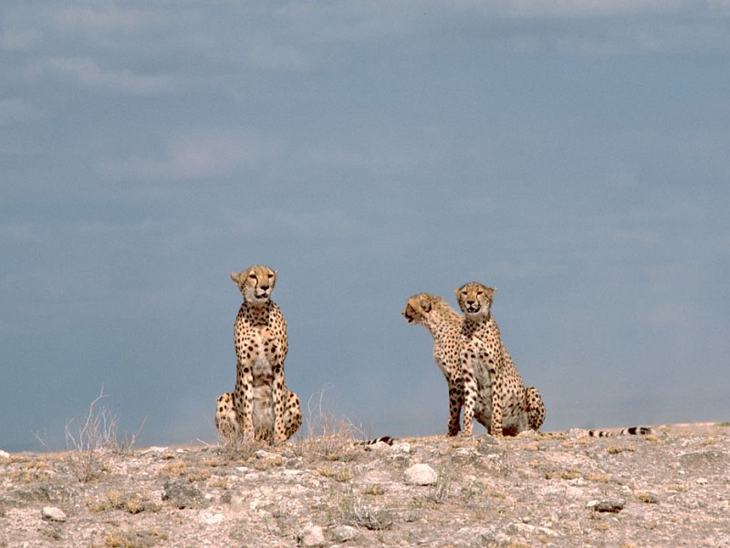 Three Large Cats -- Cheetahs -- Relaxed and Watchful, Republic of Kenya. Photo Credit: Gary M. Stolz, Washington DC Library, United States Fish and Wildlife Service Digital Library System (http://images.fws.gov, WO5670-007), United States Fish and Wildlife Service (FWS, http://www.fws.gov), United States Department of the Interior (http://www.doi.gov), Government of the United States of America (USA).