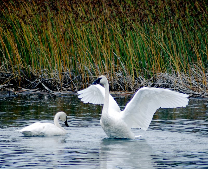 A Beautiful Pair of Trumpeter Swans (Cygnus buccinator, Olor buccinator), Potter Marsh, Anchorage, State of Alaska, USA. Photo Credit: Ronald Laubenstein, Alaska Image Library, United States Fish and Wildlife Service Digital Library System (http://images.fws.gov, DI-Laubenstein_TSwan), United States Fish and Wildlife Service (FWS, http://www.fws.gov), United States Department of the Interior (http://www.doi.gov), Government of the United States of America (USA).