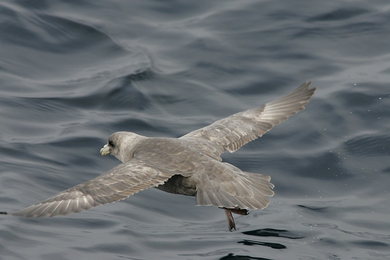 Northern Fulmar (Fulmarus glacialis, Fulmaris glacialis) In Flight Over the Water in the Alaska Maritime National Wildlife Refuge (AMNWR), Aleutian Islands, State of Alaska, USA. Photo Credit: Steve Hillebrand, Alaska Image Library, United States Fish and Wildlife Service Digital Library System (http://images.fws.gov), United States Fish and Wildlife Service (FWS, http://www.fws.gov), United States Department of the Interior (http://www.doi.gov), Government of the United States of America (USA).