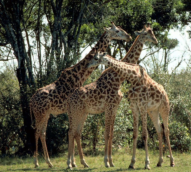 Three Very Tall Masai Giraffes, Republic of Kenya. Photo Credit: Gary M. Stolz, Washington DC Library, United States Fish and Wildlife Service Digital Library System (http://images.fws.gov, WO5635-007), United States Fish and Wildlife Service (FWS, http://www.fws.gov), United States Department of the Interior (http://www.doi.gov), Government of the United States of America (USA).