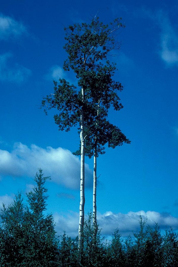 Very Tall Tree: Quaking Aspen in Summer (Summertime), Kenai National Wildlife Refuge, State of Alaska, USA. Photo Credit: U.S. Fish and Wildlife Service, Alaska Image Library, United States Fish and Wildlife Service Digital Library System (http://images.fws.gov, WO5635-007), United States Fish and Wildlife Service (FWS, http://www.fws.gov), United States Department of the Interior (http://www.doi.gov), Government of the United States of America (USA).