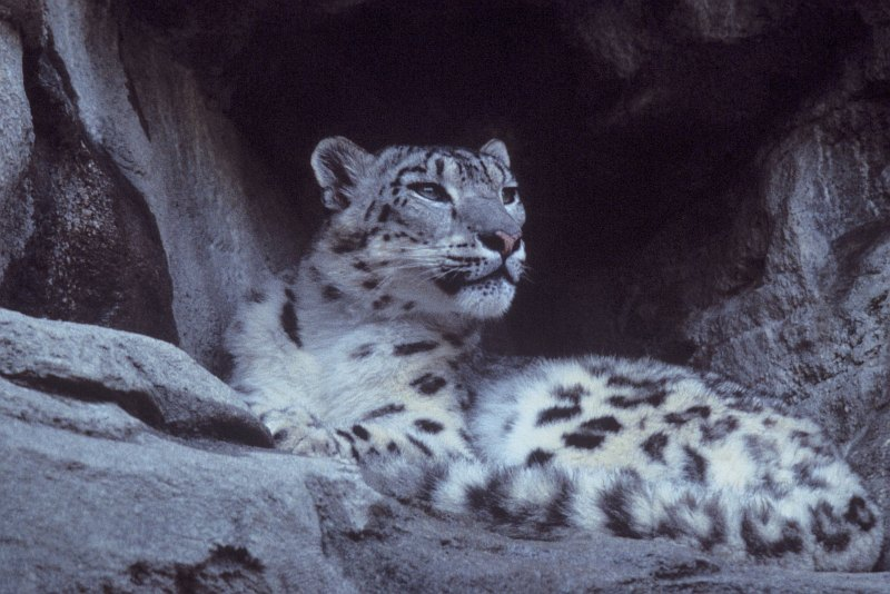 2. Snow Leopard, Uncia uncia. Photo Credit: Ron Singer, Washington DC Library, United States Fish and Wildlife Service Digital Library System (http://images.fws.gov, WO3977-33F), United States Fish and Wildlife Service (FWS, http://www.fws.gov), United States Department of the Interior (http://www.doi.gov), Government of the United States of America (USA).