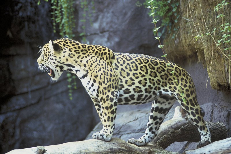 3. Jaguar, Panthera onca. Photo Credit: John and Karen Hollingsworth, Washington DC Library, United States Fish and Wildlife Service Digital Library System (http://images.fws.gov, WO0677-33F), United States Fish and Wildlife Service (FWS, http://www.fws.gov), United States Department of the Interior (http://www.doi.gov), Government of the United States of America (USA).