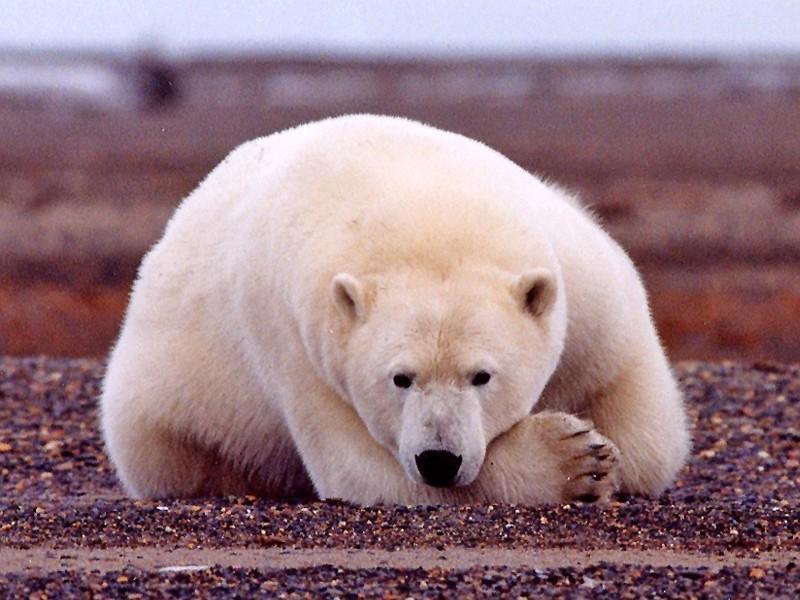 1. Polar Bear (Ursus maritimus) Along the Beaufort Sea Coastline, Arctic National Wildlife Refuge (ANWR), State of Alaska, USA. Photo Credit: Susanne Miller, Alaska Image Library, United States Fish and Wildlife Service Digital Library System (http://images.fws.gov, Checking You Out), United States Fish and Wildlife Service (FWS, http://www.fws.gov), United States Department of the Interior (http://www.doi.gov), Government of the United States of America (USA).