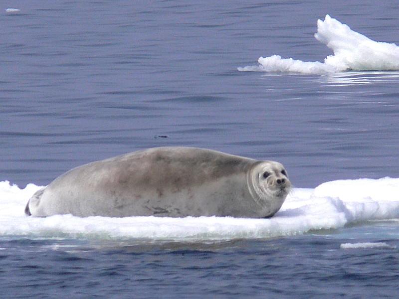 2. Bearded Seal (Erignathus barbatus), Northern Bering Sea, State of Alaska, USA. Photo Credit: Liz Labunski, Alaska Image Library, United States Fish and Wildlife Service Digital Library System (http://images.fws.gov, bearded Seal 02), United States Fish and Wildlife Service (FWS, http://www.fws.gov), United States Department of the Interior (http://www.doi.gov), Government of the United States of America (USA).