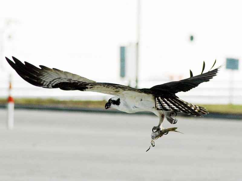 4. An Osprey (Falco haliaetus) or Fish Hawk, With Talons Clutching a Headless Fish, In-Flight Near the Kennedy Space Center News Center, Launch Complex 39, NASA Kennedy Space Center, State of Florida, USA. Photo Credit: Ken Thornsley, Kennedy Media Gallery - Wildlife (http://mediaarchive.ksc.nasa.gov) Photo Number: KSC-07PD-0169, John F. Kennedy Space Center (KSC, http://www.nasa.gov/centers/kennedy), National Aeronautics and Space Administration (NASA, http://www.nasa.gov), Government of the United States of America.