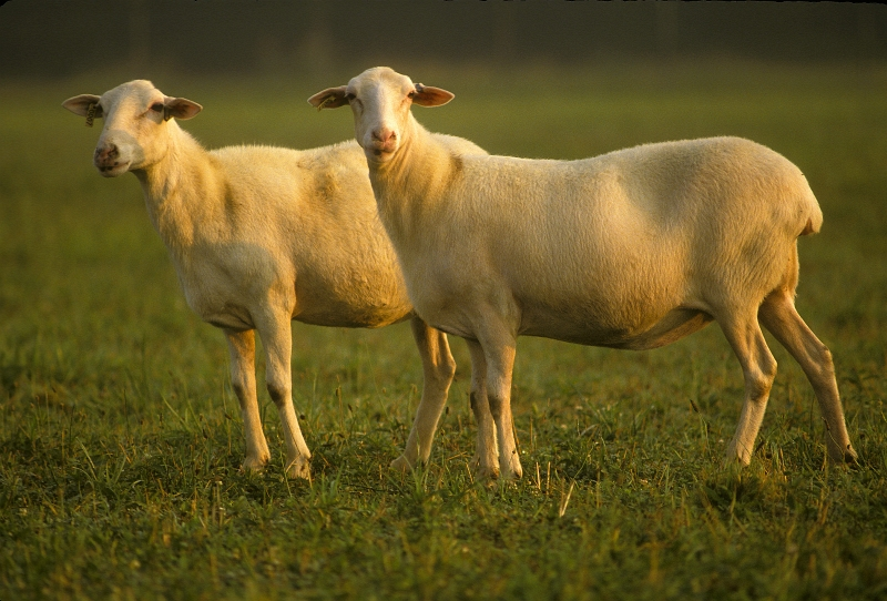 A Pair of Hair Sheep. Photo Credit: Perry A. Rech (http://www.ars.usda.gov/is/graphics/photos, K3720-12), Agricultural Research Service (ARS, http://www.ars.usda.gov), United States Department of Agriculture (USDA, http://www.usda.gov), Government of the United States of America (USA).