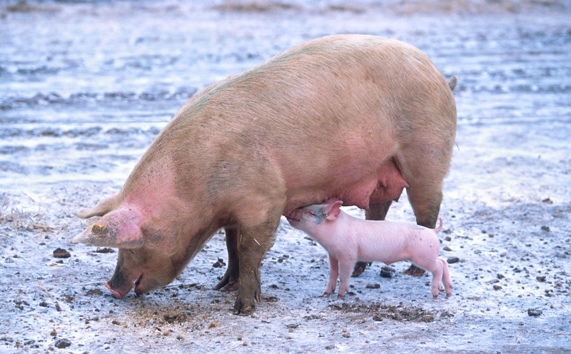 Swine: Mother Pig (Sow) Feeding Baby Pig (Piggy). Photo Credit: Scott Bauer (http://www.ars.usda.gov/is/graphics/photos, K9441-1), Agricultural Research Service (ARS, http://www.ars.usda.gov), United States Department of Agriculture (USDA, http://www.usda.gov), Government of the United States of America (USA).