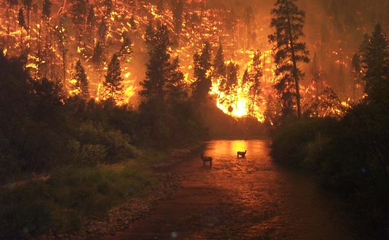 "A Huge Wildfire in Sula Complex, Bitterroot National Forest, USA: This ""Elk Bath"" photo was taken by John McColgan ""late in the afternoon of Sunday August 6th, 2000 from a bridge over the East Fork of the Bitterroot River ust north of Sula, Montana. These elk sought refuge in the river bottom during what may have been the most extreme day of fire behavior on the Bitterroot in more than 70 years."" Photo and Caption Credit: John McColgan, Fire Behavior Analyst, Alaskan Type I Incident Management Team; Alaska Fire Service (AFS, http://fire.ak.blm.gov), Bureau of Land Management (BLM, http://www.blm.gov), United States Department of the Interior, (http://www.doi.gov), Government of the United States of America (USA)."